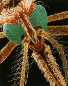 Aguijón mosco2
