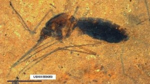 Fosil mosquito
