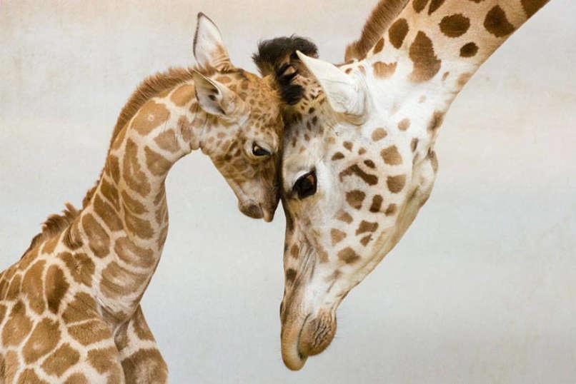 amor-jirafa