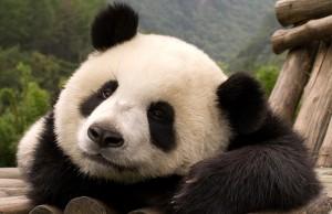 El paraiso de flojera panda