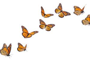 la-migracion-de-las-monarca